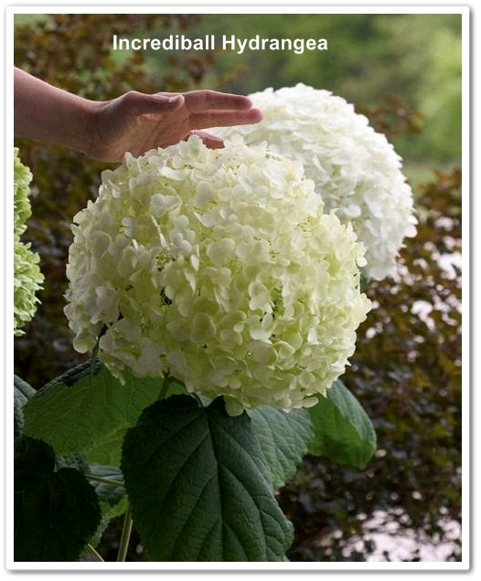 Incrediball Hydrangea Bloom