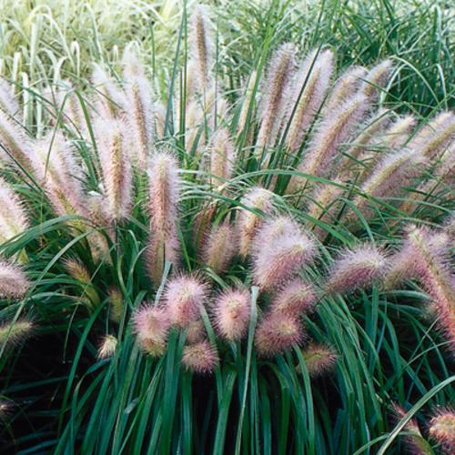 Grow It Red Head Fountain Grass Two Women And A Hoe