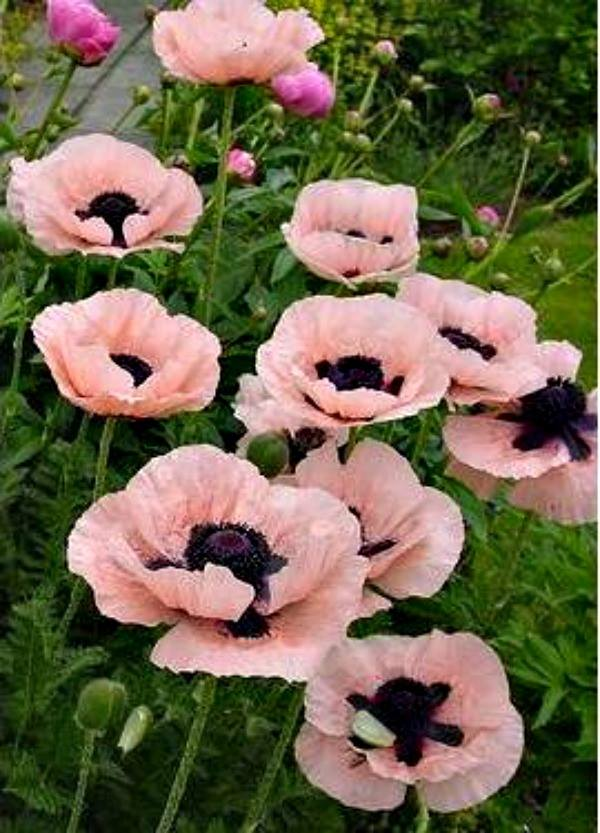 Oriental POPPY 'Princess Victoria Louise'