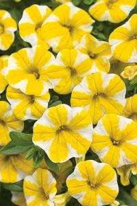 Superbells Lemon Slice Calibrachoa
