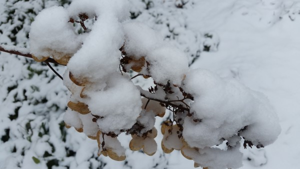 'Little Lamb' Hardy Hydrangea Hydrangea paniculata