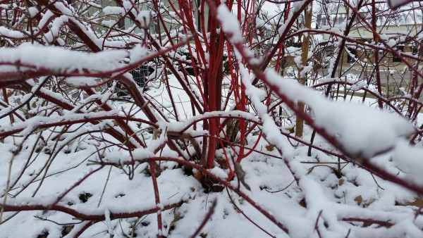 Red Twig Dogwood Cornus alba 'Sibirica'